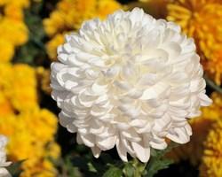TuincentrumBloemen Maris -CHRYSANTEN