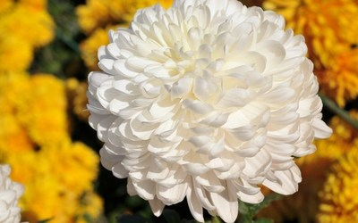 Bloemen Maris - Chrysanten
